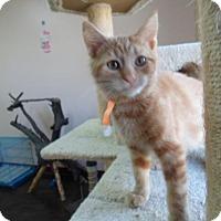 Domestic Mediumhair Kitten for adoption in Montello, Wisconsin - Connor