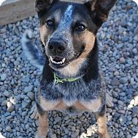 Australian Cattle Dog Mix Dog for adoption in Berea, Ohio - Flannigan