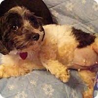 Shih Tzu Mix Dog for adoption in Newport, Kentucky - Kissie