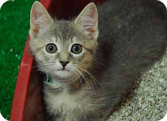 Domestic Shorthair Kitten for adoption in Lunenburg, Massachusetts - Teapot #5