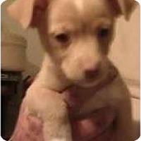 Adopt A Pet :: Jesse James  - pearl pup - Phoenix, AZ