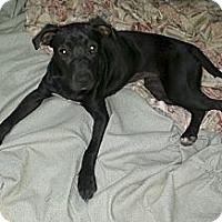 Adopt A Pet :: Petra - Bardonia, NY