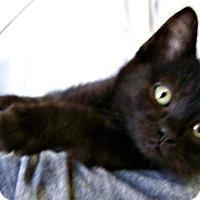 Adopt A Pet :: Gilligan - Toledo, OH