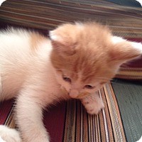 Adopt A Pet :: Butterscotch - Piscataway, NJ