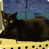 Domestic Shorthair Cat for adoption in Belleville, Michigan - Chip
