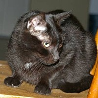 Domestic Shorthair Cat for adoption in Drippings Springs, Texas - Bobby