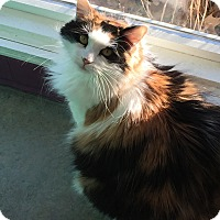 Domestic Mediumhair Cat for adoption in Topeka, Kansas - Maddie