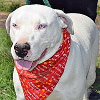 Pit Bull Terrier/Staffordshire Bull Terrier Mix Dog for adoption in Iola, Texas - Palerma