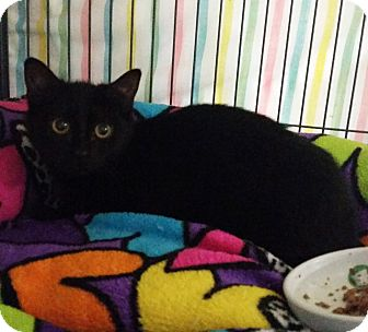Domestic Shorthair Kitten for adoption in Freeport, New York - Snickers