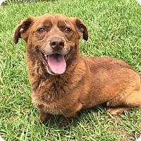 Corgi/Labrador Retriever Mix Dog for adoption in Myakka City, Florida - Tug