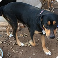 Rottweiler/Labrador Retriever Mix Dog for adoption in Blanchard, Oklahoma - Sweet Pea