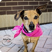 Beagle/Dachshund Mix Dog for adoption in Mooresville, North Carolina - Retton