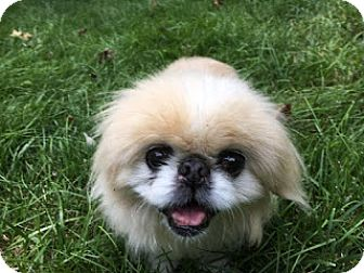 Pekingese Dog for adoption in Richmond, Virginia - Waddles
