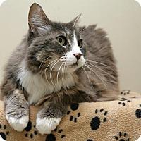 Domestic Mediumhair Cat for adoption in Bellingham, Washington - Sparkle