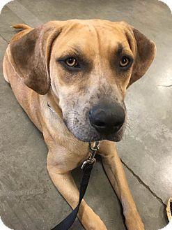 Black Mouth Cur/Catahoula Leopard Dog Mix Dog for adoption in Sarasota, Florida - Milo