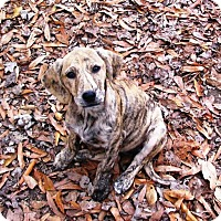 Adopt A Pet :: BROOKE - Williamsport, PA