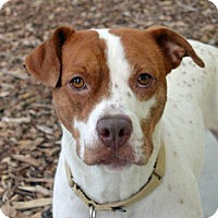 American Staffordshire Terrier Mix Dog for adoption in St. Petersburg, Florida - Lily