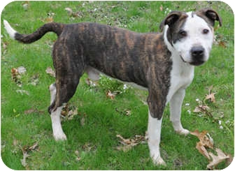 American Staffordshire Terrier/Pit Bull Terrier Mix Dog for adoption in Chicago, Illinois - T-Bone