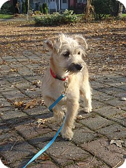 chinese crested terrier stella adopted adopted puppy adopted toronto 5794