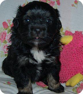 Schnauzer (Miniature)/Shih Tzu Mix Puppy for adoption in Hazard, Kentucky - Grace