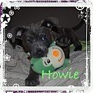 Adopt A Pet :: HOWIE