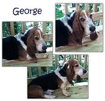 Basset Hound Dog for adoption in Marietta, Georgia - George