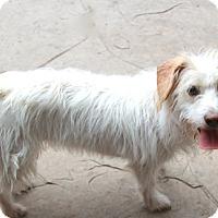 Adopt A Pet :: Isabella - Norwalk, CT