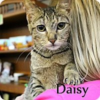 Domestic Shorthair Kitten for adoption in Wichita Falls, Texas - Daisy