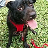 Adopt A Pet :: Blacky - Ocean Ridge, FL