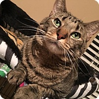 Adopt A Pet :: Leia (Declawed) - St. Louis, MO