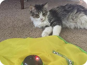 Domestic Mediumhair Cat for adoption in Glendale, Arizona - Neeva