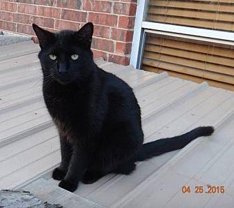 Domestic Shorthair Cat for adoption in Lawton, Oklahoma - SHADOW