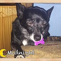 Adopt A Pet :: Midnight - Orlando, FL