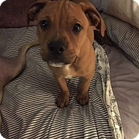 Adopt A Pet :: Red - bridgeport, CT