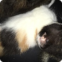 Adopt A Pet :: Emma - Brainardsville, NY