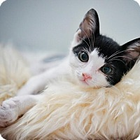 Domestic Shorthair Kitten for adoption in Westminster, California - Joey