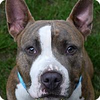 Adopt A Pet :: Napoleon - Pontiac, MI