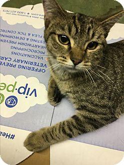 Domestic Shorthair Kitten for adoption in Butner, North Carolina - Jewel