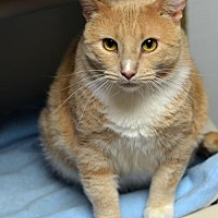 Domestic Shorthair Cat for adoption in Atlanta, Georgia - Bustey 150424