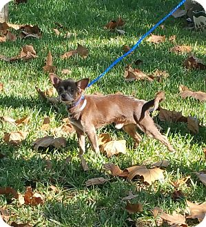 Chihuahua Mix Dog for adoption in Houston, Texas - VAN DAMME