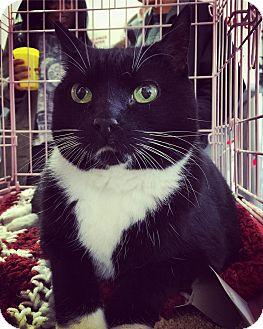 Domestic Shorthair Cat for adoption in Philadelphia, Pennsylvania - AUGUST!