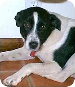 Callie Adopted Dog Dewey Az Border Collie Chihuahua Mix