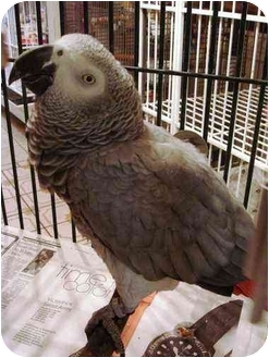 African Grey for adoption in Fountain Valley, California - Sweetie