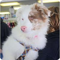 Adopt A Pet :: Sola - Blooming Prairie, MN