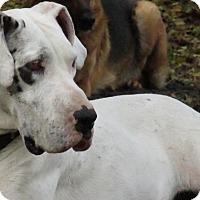 Adopt A Pet :: Daisy Dane - Green Cove Springs, FL