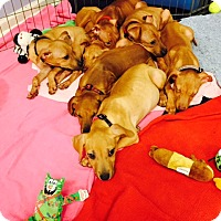 Adopt A Pet :: Hound Puppies - Jupiter, FL