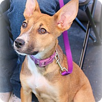 Adopt A Pet :: Bindi - Yuba City, CA