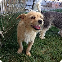 Terrier (Unknown Type, Small) Mix Dog for adoption in Las Vegas, Nevada - Milo