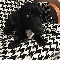 Adopt A Pet :: Kaya-adoption pending - Schaumburg, IL