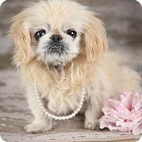 Adopt A Pet :: KoKo - Inver Grove, MN